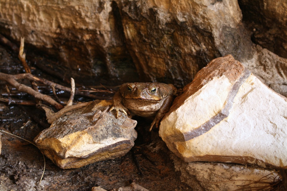 Nasty cane toads hiding away in the cool cracks in the rock