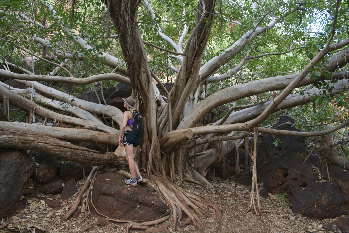 Lovely fig trees at Karijini