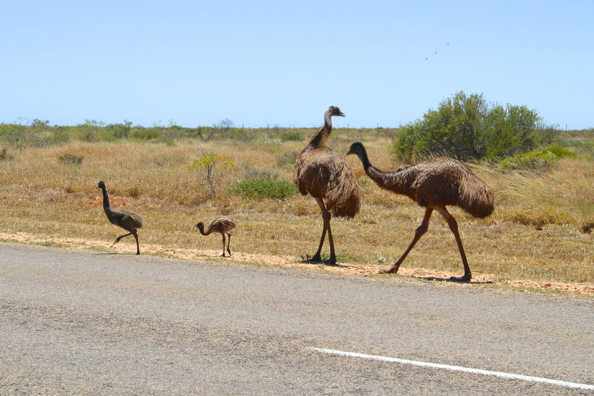 Emu family outside of Exmouth