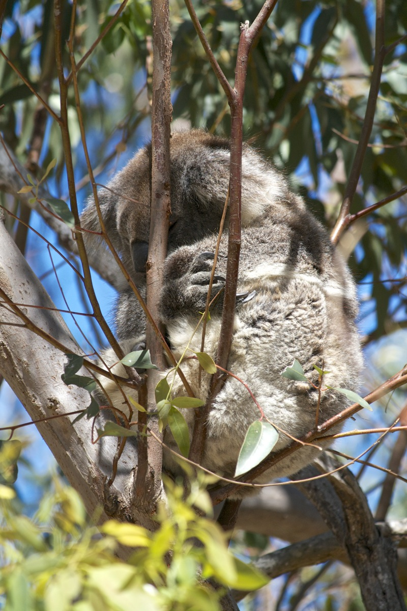 Koalas at Yanchep National Park