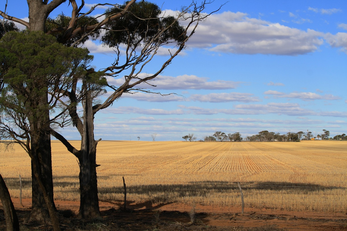 The wheat fields on the way out to Kalgoorlie